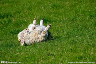 羊图片羊羔图片山羊动物世界图片