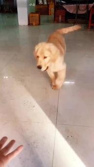 宠物训练 狗狗打针 训狗视频教程