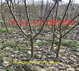【哪里油1年玉露香梨树出售、1年玉露香梨树多少钱一棵】- 黄页88网