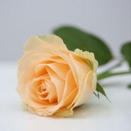 蜜桃雪山 香槟玫瑰