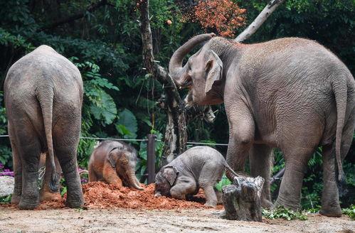 大象妈妈莉娜和伊拉均为长隆野生动物世界亚洲象种群繁育基地繁殖的亚洲象.