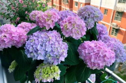 阳台好养花期长的植物