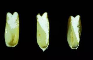 关于玉米和大豆的生长过程的高清图解