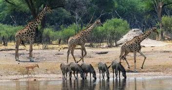 津巴布韦最原始、最偏僻、最刺激的野生动物园要数马纳普斯国家公园.