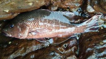 红鱼是什么鱼(鲤。 锦鲤学名:  )
