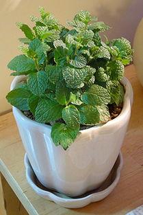 薄荷种子 香水薄荷 柠檬薄荷 花卉绿植盆栽 阳台花种子