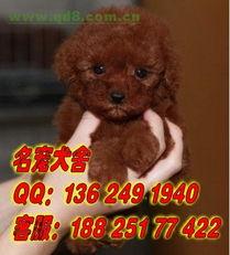 广州天河区哪里有卖迷你犬泰迪纯种宠物狗出售广州名宠狗场