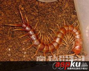 世界10大巨型蜈蚣 秘鲁越南巨人蜈蚣