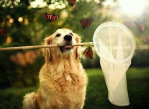 想要买一条金毛犬,怎么挑选健康的狗狗,刚买的金毛怎么养