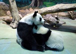 大熊猫 圆仔 学习独立生活 组图