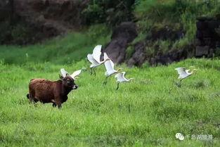 绝美 动物界的白富美仙子现迹千岛湖畔