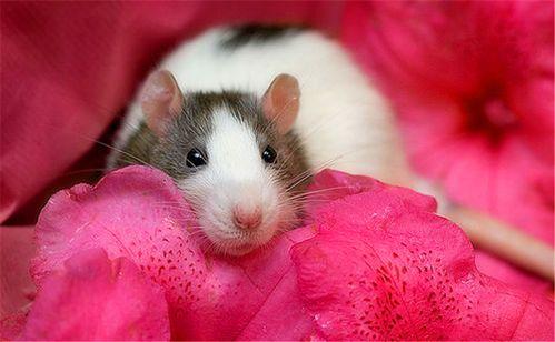 养花枝鼠的人多吗