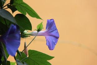 藍色喇叭花風水