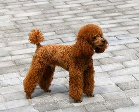 如何为狗狗选购大小合适的牵引绳