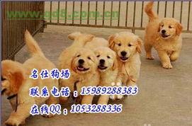 广州狗场买宠物狗广州哪里有狗场卖金毛犬首选名仕狗场