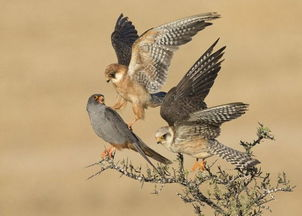 英世界野生动物摄影大赛 两只狐狸的故事夺冠