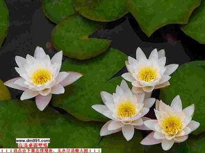 睡莲,香水莲,印度红睡莲,牡丹莲,埃及白睡莲,多头王莲,四季 供应 花木协会富海苗圃