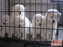 出售大型犬纯种阿拉斯加幼犬赛级血统十字架脸品相一流金毛萨摩宝宝 公母都有