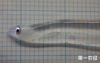透明鱼叫什么