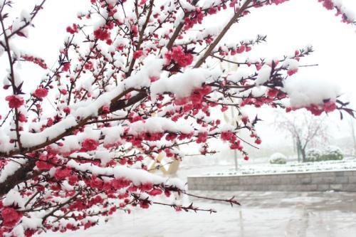 关于桃花和雪诗句