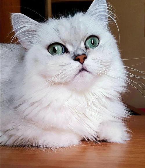 眼屎多的猫咪吃什么药