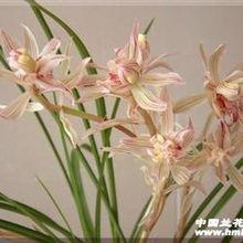 壮苗漂亮 金沙树菊 1特壮母苗带2芽