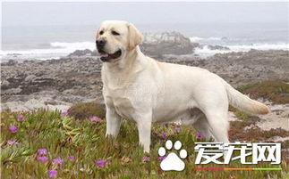 拉布拉多寻回犬和金毛哪个更聪明 两种狗都很聪明