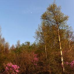 满山开遍哟黄杜鹃  丁香花背后的故事