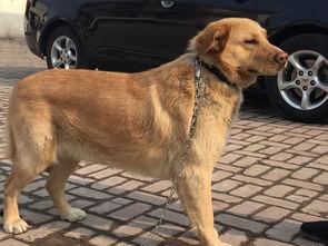 谁知道这条狗狗是什么品种 性格很像金毛,但是我不确定他的名字