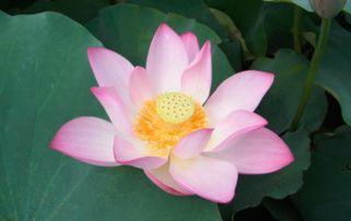 有关描写莲花的古诗词