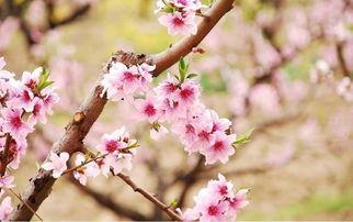 赞美桃花的诗句名句
