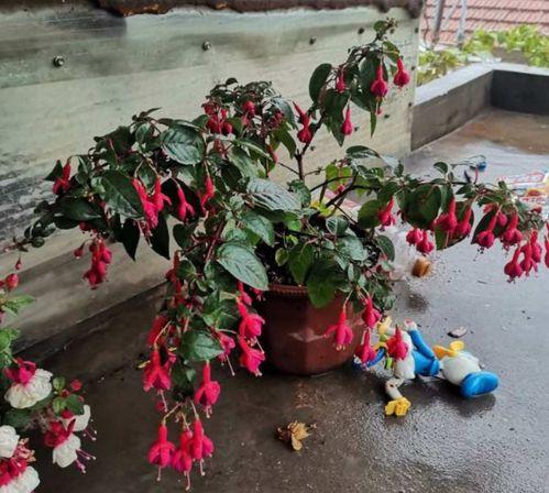 10种花,最怕下雨天,淋完雨就死!  哪些花草不能淋雨