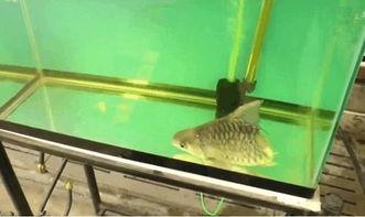 怎么样辨别金龙鱼龙