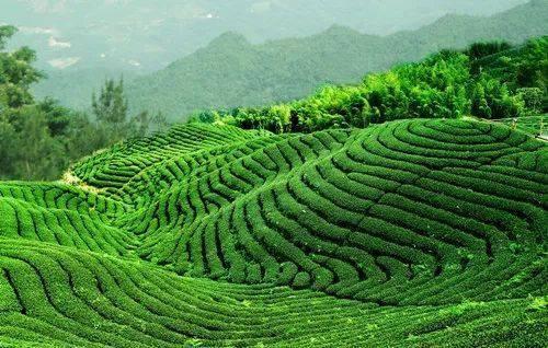 茶叶树浇水