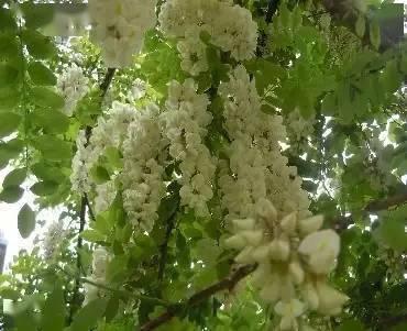 关于槐花的诗句