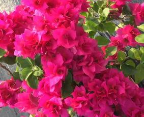 养花大全大叶子花
