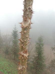 这全身长刺的木本植物什么名字