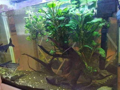 鱼缸养花鲢鱼畏什么