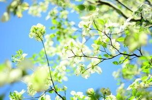 描写樱花树美的句子