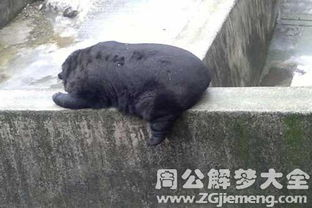 周公解梦 梦到黑熊 代表什么(孕妇梦到自己抱着一个熊娃娃)