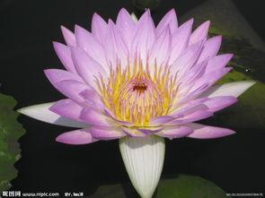 香水莲花图片