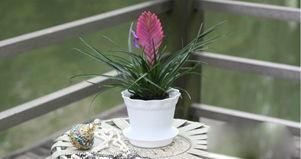 ...卉 空气凤梨 铁兰花 红叶铁兰 紫凤梨