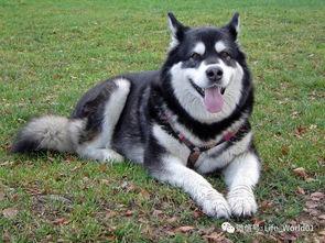 十大温柔狗狗排名,第一名是它...