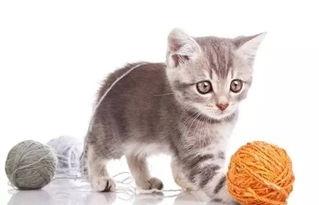 猫咪撒娇时发出的声音