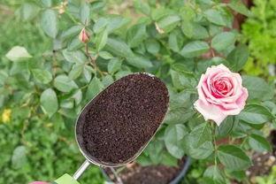 咖啡渣可以直接养花