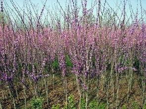 紫荆树风水好不好