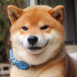 柴犬这种狗狗是十分讨人喜欢