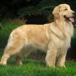 给狗狗取名字 是金毛狗 母的 要好听好记的 谢谢