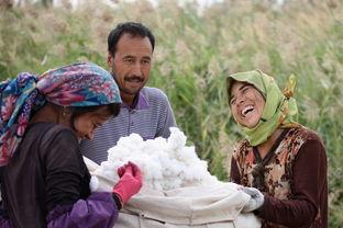 新疆摘棉花
