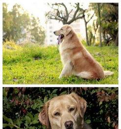 冠军级种犬后代拉布拉多犬金毛包活 带健康证 签合同